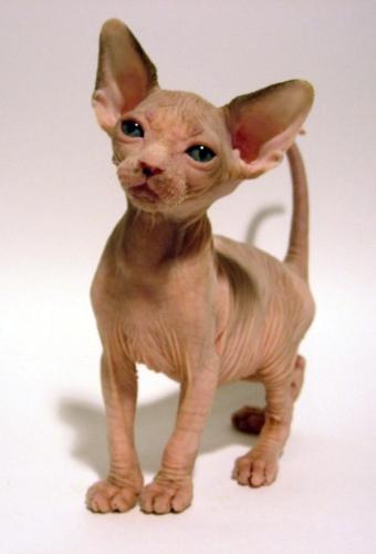 Породы кошек.  Сфинкс (Канадский сфинкс)